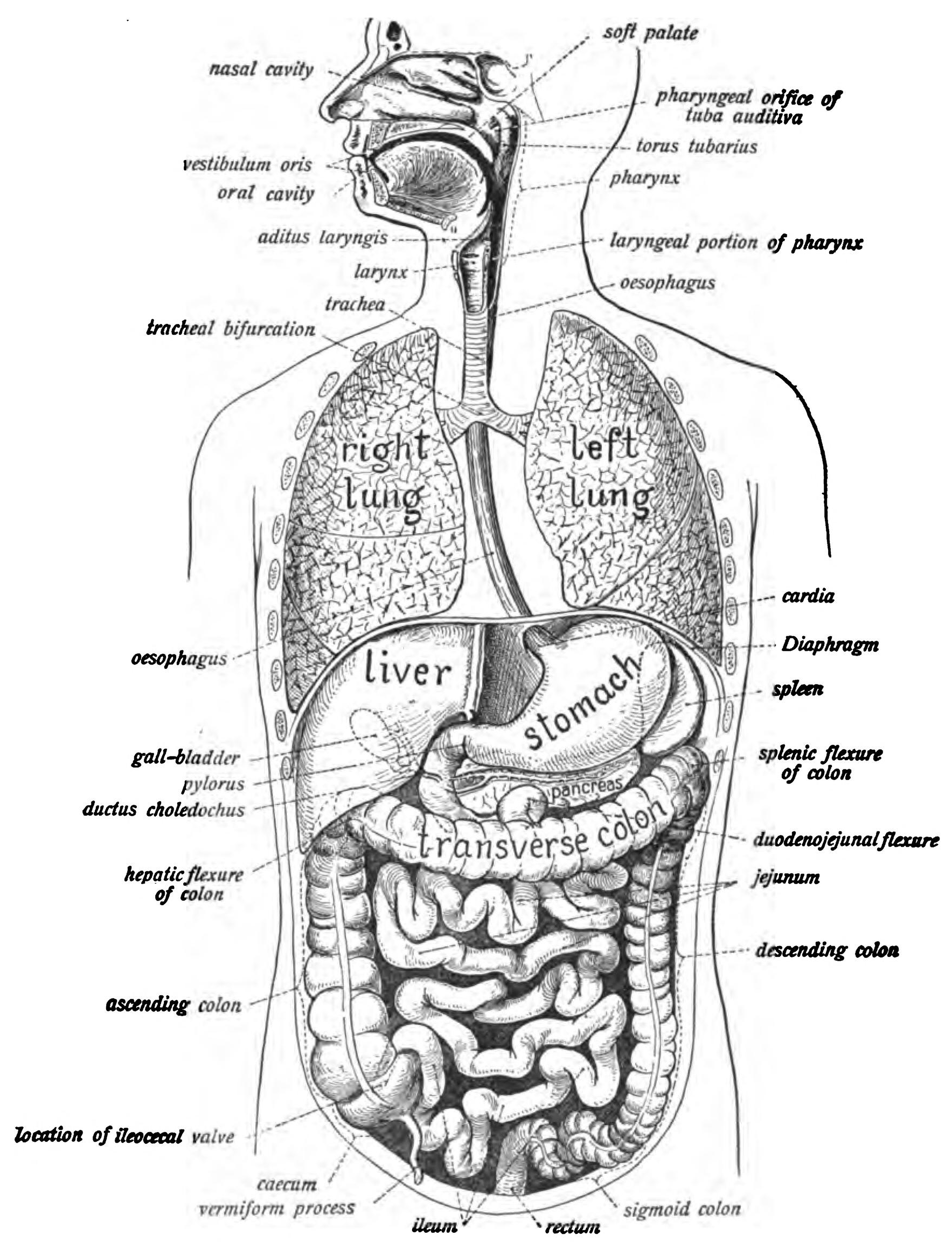 Lower digestive tract