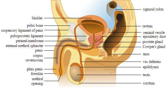 Male genital tract
