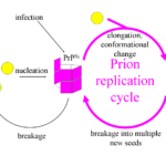 Prion infection